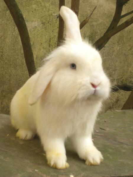Elevage de lapins Béliers propose males castrés