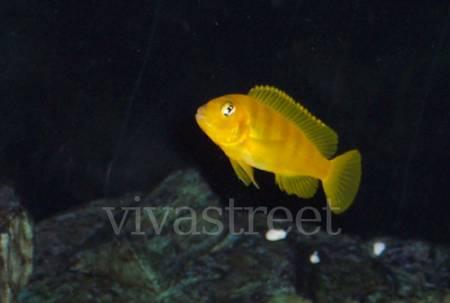Cichlidés:  Cynotilapia pulpican mâles et Pseudo. saulosi 3