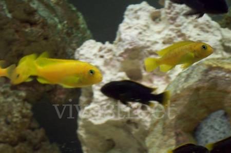 Cichlidés:  Cynotilapia pulpican mâles et Pseudo. saulosi 4