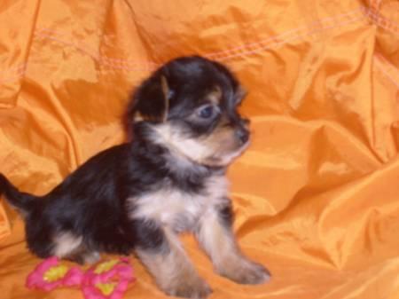 chien ( yorshire croisée bichon ) 1