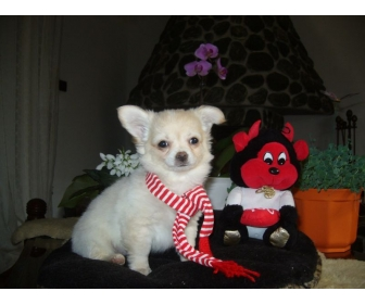 A donner chiot chihuahua LOF m�le 1