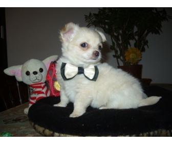 A donner chiot chihuahua LOF m�le 2