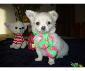 A donner chiot chihuahua LOF m�le 3