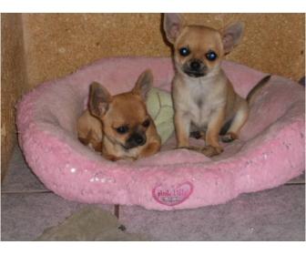 A donner deux petites femelles chihuahua LOF 3