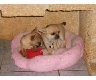 A donner deux petites femelles chihuahua LOF 2