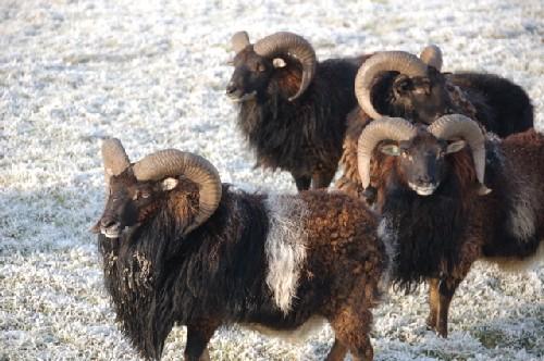Moutons SOAY à vendre 1