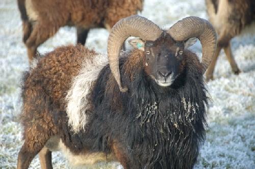 Moutons SOAY à vendre 2