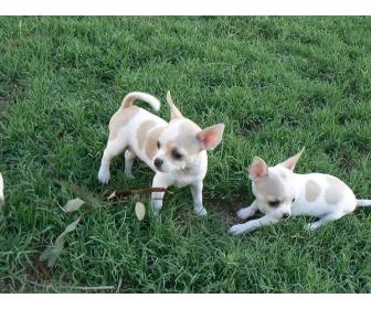 Deux Magnifiques chiots chihuahua à donner 1