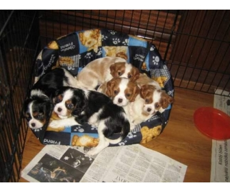 chiots cavalier king charles a donner 1