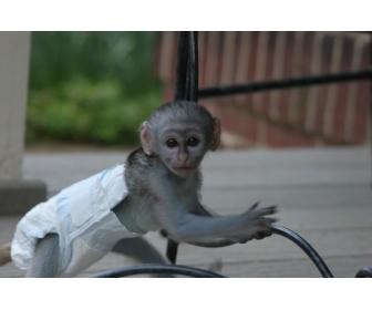 B�b� femelle capucin singe � donner 1