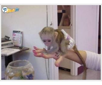 singes ouistiti pour bébés à vendre Belgique 2