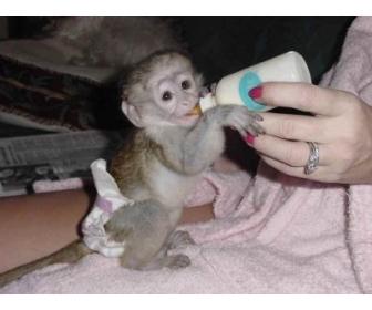 singes ouistiti pour bébés à vendre Belgique 1