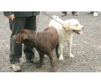 2 labradors à adopter 1