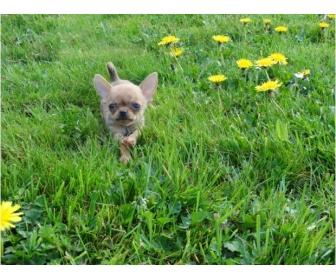 Chihuahua femelle miniature en vente 2