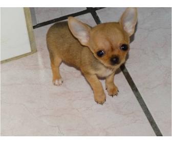 Chihuahua femelle miniature en vente 1