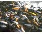 jeunes poisson kois à vendre