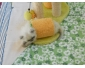 Chaton mâle Persan folätre à vendre