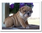 Chiots types bouledogue anglais disponible