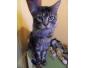 Superbe chat Maine Coon à vendre