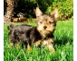 Don chiot Yorkshire Terrier vaccinés