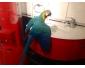 Perroquet ara bleu en vente à Namur