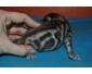 Chatons bengal vaccinés à réserver