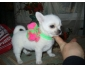 Chiot Chihuahua race pure LOF à donner