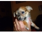 Chihuahua femelle pucée et vaccinée à vendre