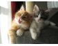 Magnifiques chatons Maine Coon en vente