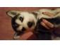 choit husky sibérien vacciné à vendre