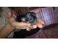Chihuahua vaccinés et vermifugés à vendre