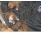 Chihuahua femelles poils long à vendre