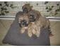 3 adorables bebes shih tzu a vendre