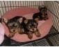 Chiots yorkshire terrier non lof à vendre