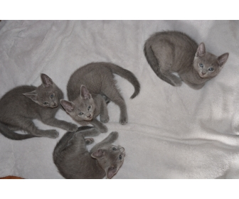 4 chatons Bleu Russes 1