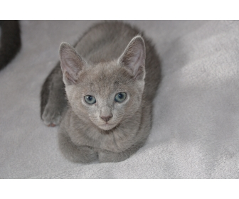 4 chatons Bleu Russes 2