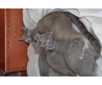 4 chatons Bleu Russes 3