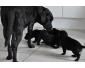 Chiots Labrador Retriever noir