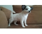 Ravissante petite femelle chihuahua a vendre, poils longs