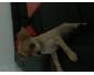 Chihuahua femelle poils court beige 3 mois