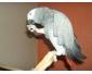 Bébé perroquet gris du gabon A DONNER