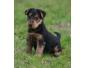 Chiots welsh terrier
