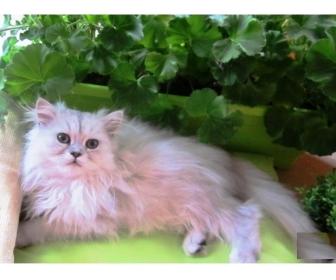Adorable chaton de type persan chinchilla à vendre 1