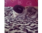 5 chatons Maine Coon à vendre