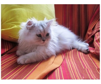 Adorable chaton de type persan chinchilla à vendre 2