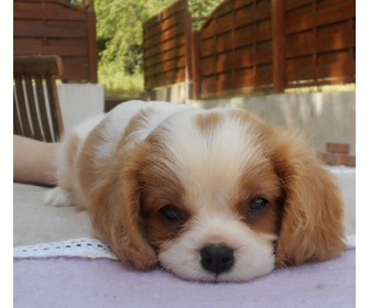 Adorable cavalier King Charles à donner 1