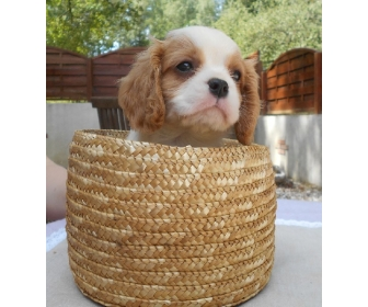Adorable cavalier King Charles à donner 2