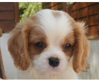 Adorable cavalier King Charles à donner 3