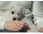 A adopter chiot type jack russel