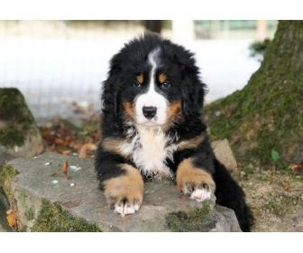 Chiot femelle bouvier bernois adopter - Bouvier bernois prix ...